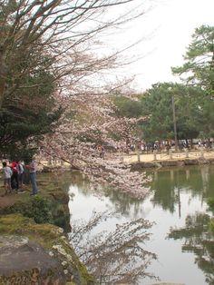 543:「奈良公園の桜! 末永くお幸せに(^_-)-☆」@奈良公園