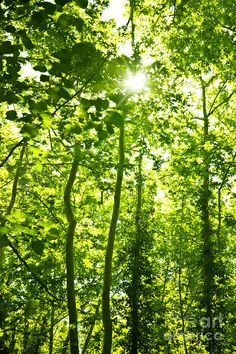 forrest tree art | ... Trees Background Photograph - Green Forest Trees Background Fine Art
