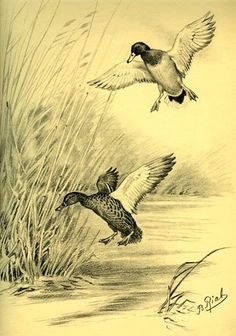 Landscape Pencil Drawings, Bird Drawings, Animal Drawings, Cool Drawings, Flying Bird Drawing, Art Canard, Films Western, Hunting Decal, North American Animals