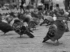 Amsterdam Pigeon