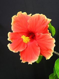 Orange and Yellow Hibiscus