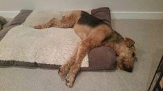 Airedale Sleep Position # 128