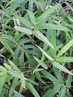 BAMBOO--Bambusa multiplex 'Silver Stripe'