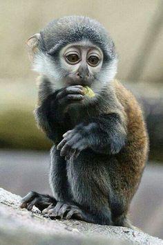 Moto, Colchester Zoo year-old Monkey Primates, Mammals, Vida Animal, Especie Animal, Mundo Animal, Nature Animals, Animals And Pets, Cute Baby Animals, Funny Animals