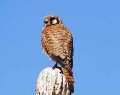 Birds of Phoenix and Arizona: Female American Kestrel
