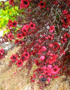 New Zealand Tea tree.  I need this in my yard, so pretty!!