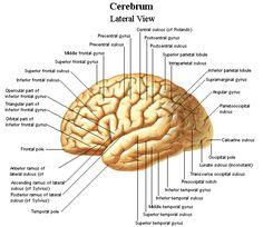 Dentistry and Medicine: Anatomy and Physiology of Brain Diagrams Liver Anatomy, Brain Anatomy, Human Anatomy And Physiology, Medical Anatomy, Nervous System Anatomy, Brain Diagram, Brain Models, Human Body Organs, Gross Anatomy