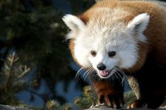 Their adorable faces. | 11 Reasons You Have To Vote For Red Pandas As The Next BigAnimal