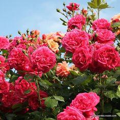 роза лагуна: 20 тыс изображений найдено в Яндекс.Картинках