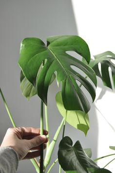 Wicked Amazing Green Aesthetic Plants https://www.decorisme.co/2017/12/13/amazing-green-aesthetic-plants/ More flowers boost the plumeria plant total look and aesthetic quality.