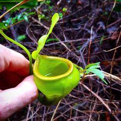 N. undulatifolia in its habitat.  #nepenthes #pitcherplants #carnivorousplants #tropicalplants #tropicalpitcherplant #jungle #rainforest #forest #nationalgeographic #nature #travel #exploring #adventure #hiking #trekking #plantlife #plantsofinstagram #Indonesia #tropics #Sulawesi #wanderlust #naturephotography #backpacking by laurenttaerweplantphotos