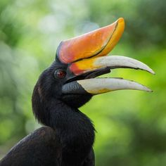 Hornbills have earned their name from their comically large beaks. In fact, the beak counts for 10% of the hornbill's total body weight. The beaks are so heavy, that the bird's first and second vertebrae are fused together to help it carry the weight.