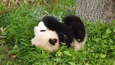 Reserva en China le paga a las personas por abrazar pandas bebés y todos queremos trabajar ahí
