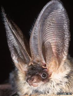 Grey long-eared bat  (Plecotus austriacus) (Image: Hugh Clark/Bat Conservation Trust)