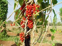 tinospora cordifolia - Pesquisa Google