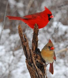 Bird Watching for Kids - Red Cardinals