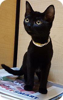 Prattville, AL - Domestic Shorthair. Meet Sissy 25186, a kitten for adoption…