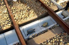 Turtles Saved From Sudden Death Thanks To New Train Lanes / @HuffingtonPost | #socialdesign