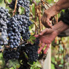 Vendemmia / winobranie