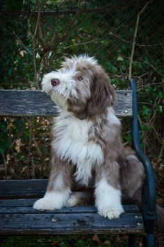 Best Bearded Collie Dog Names Animals And Pets, Baby Animals, Cute Animals, Collie Dog, Border Collie, Bearded Collie Puppies, Pet Dogs, Dog Cat, Doggies