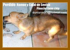 Pinocho perdido en Ramón y Cajal de(Sevilla) tiene microchip,el perro sufre de ataques epilépticos.