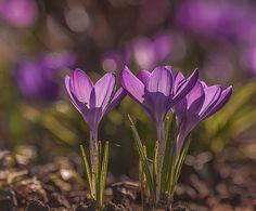 Purple Crocus by sylvia lemoniates on 500px