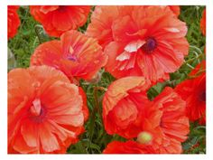 Red Poppies #Maine flowers wall art home by #PatriciaSheaDesigns