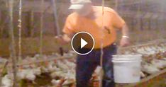 Only one month after a shocking Mercy For Animals undercover video blew the lid off Tyson Foods' egregious cruelty to chickens, ANOTHER hidden-camera investigation (http://McDonaldsCruelty.com) has exposed Tyson's malicious abuse of birds.