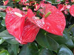 Flamingóvirág (Anthurium) gondozása, tartása. Hol tartsuk, milyen és mennyi vizet és tápanyagot igényel? Ápolási tanácsok, a legszebb szobanövényünkhöz. Vegetables, Rose, Flowers, Plants, Pink, Vegetable Recipes, Plant, Roses, Royal Icing Flowers