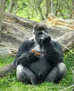 funny image of a young gorilla sticking up its middle finger bird