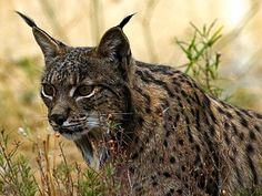 Iberian Lynx - most endangered cat species in the world.