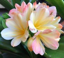 2 AMARYLLIS USA CLIVIA SEEDS JAPANESEEN HATTORI 'TYRA' Gladiolus, Exotic Flowers, Flower Decorations, Seeds, Lily, Japanese, Landscape, Usa, Garden