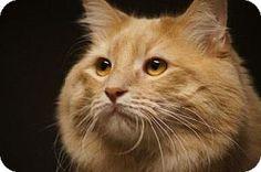 Little Rock, AR - Domestic Longhair. Meet Sugar Cookie (32391), a cat for adoption. http://www.adoptapet.com/pet/11557012-little-rock-arkansas-cat