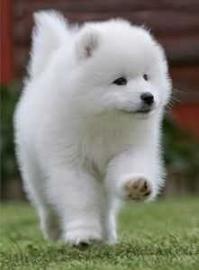 Image result for samoyed