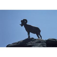 "Bighorn sheep at Anza-Borrego Desert SP, circa 1967. From the collection ""Photographs of wildlife in California State Parks."""