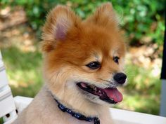 Pomeranian information and facts you should know!