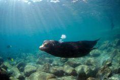 Stunning sea lion in La Paz, Mexico.