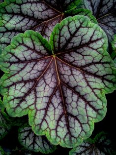 Green Spice Heuchera