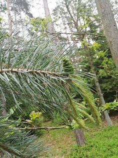 Kobiece trzydzieści plus: syrop z pędów sosny Plants, Plant, Planting, Planets