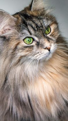 Cute Baby Cats, Cute Cats And Kittens, Cool Cats, Kittens Cutest, Pretty Cats, Beautiful Cats, Cute Cat Wallpaper, Maine Coon Kittens, Tier Fotos