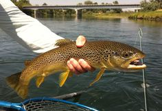 Missouri River brown trout Missouri River, Brown Trout, Home Of The Brave, Latest Stories, Fish, Writing, Trout, Pisces, Being A Writer