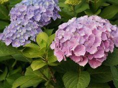 hortenzia metszese 04 Garden Planning, Herbs, Flowers, Gardening, Ideas Para, Html, Terrace, Garden Ideas, Plants