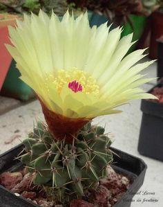 Notocactus buiningii / Cactus sin fronteras / Manuel Licona