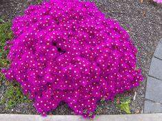 """Buz Çiçeği """"Lampranthus"""" Ice Plant"""