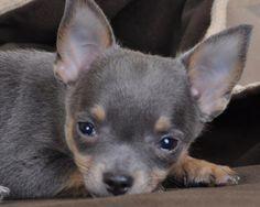 Au Coup de Patte - Chihuahua poils courts bleu male