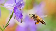 Scientists hope robots can one day help with pollination, as natural bee populations decline.