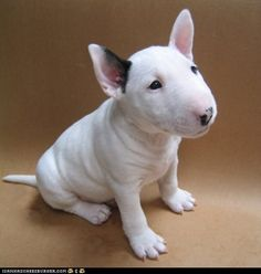 English Bull Terrier... a breed of dog with a devilish sense of humour.
