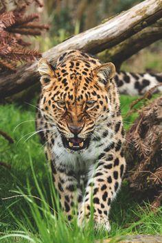 visualempire:    Amur Leopard   |   Colin Langford   | VE
