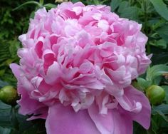 Peony Monsieur Jules Elie - Midseason Lactiflora, bomb-type double, light lavender pink, fragrant, light green foliage, may need support, it belongs to the traditional list of well paid cutflowers, (Crousse 1888) - www.peonyshop.com
