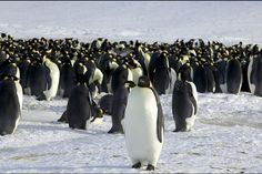Antarctica: frozen wonderland and climate bellwether - The Christian Science Monitor - CSMonitor.com Emperor Penguins, Martin Passingham